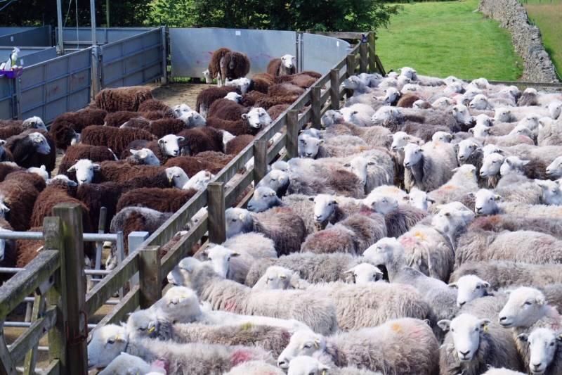 Herdwick sheep in pens for shearing
